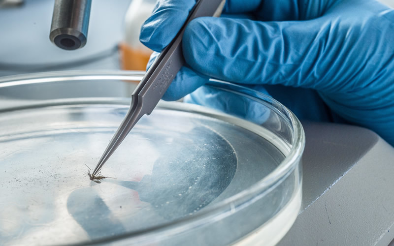 A blue gloved hand with tweezers holds a mosquito in a petri dish.